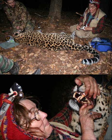 061116-russia-leopard.jpg